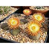 Chinis 20 Seeds Pleiospilos Nelii Split Rock Seeds Succulents Plant Seeds Succulents Bonsai Home Garden Ornament Flower