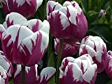 Zurel Tulip Flower Seeds 50 Stratisfied Seeds