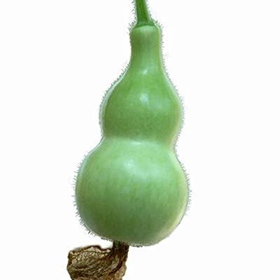 Civilys 5 Pcs Summer Squash Gourd Seeds Home Garden Planting Plants Flowers : Garden & Outdoor