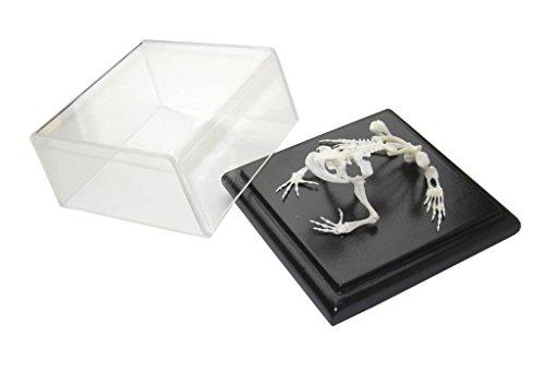 (C & A Scientific - Premiere 51002 Real Toad Skeleton)