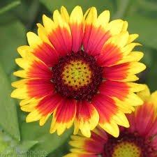 Blanket Flower Seeds ~ 300 Seeds (Seed Blanket)