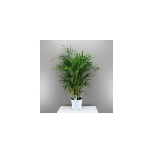 Beautiful Butterfly Indoor Palm Tree Areca Lutescens   Next Day Delivery  Option Palm, Christmas Gift