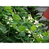 Hyacinth Bean Vine ~100 Seeds White,great for Trellis, -Beautiful
