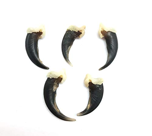 Animal Claws - PEPPERLONELY 5PC Real Coyote Claws, for Jewelry, Collectors, Teachers, and More (Natural Brown/Black), 3/4 Inch ~ 1 Inch