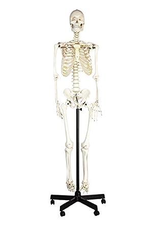 Amazon Eisco Labs Life Sized Human Skeleton Model 62 Height