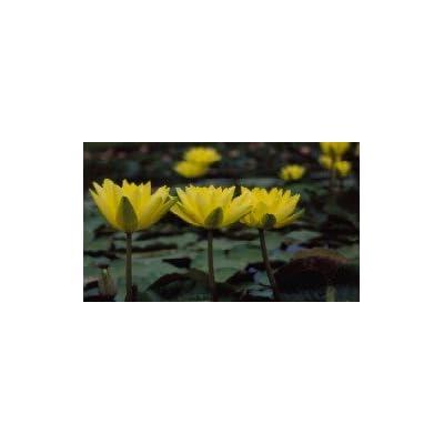 Nymphaea 'Joey Tomocik' Hardy Yellow Waterlily : Garden & Outdoor
