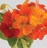 David's Garden Seeds Flower Nasturtium Alaska Mix (Edible) D1202 (Multi Color) 50 Open Pollinated Seeds
