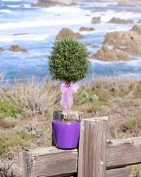 Fresh Live Topiary Plant, Item 525 - 5 inch Rosemary Standard Live Topiary Plant Perfect for out of doors or on porch or patio setting. Water when starting to dry out. Indirect sunlight is ideal for this plant.