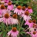 Herb / Flower Seeds - Echinacea purpurpea - 20 Seeds