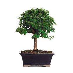 Bonsaioutlet Bonsai Tree - Dwarf Jade