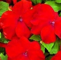 Impatiens/Busy Lizzy - Xtreme Red - 25 Seeds