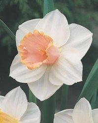 Flower Dutch Wholesale (8 Salome Daffodil Flower Bulbs)