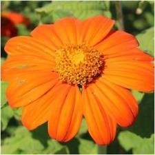 Torch Mexican Sunflower - Package of 100 Seeds, Mexican Torch Sunflower Seeds (Tithonia rotundifolia)