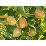 9EzTropical - Jujube Sugarcan Tree - 3 to 4 Feet Tall - Ship in 3 Gal Pot by 9EzTropical (Image #1)