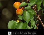 Harcot Apricot Tree in Soil--12 Inch Container, Shipment Available Year Round