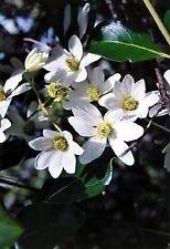 Sweet Autumn Clematis Vine - Clematis paniculata - Fragrant - 2.5