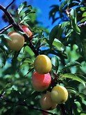 10 Seeds Chickasaw Plum, Sand Plum, Sandhill Plum (Prunus angustifolia) Fruit Tree