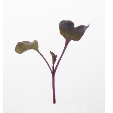 David's Garden Seeds Microgreens Radish Red Rambo Non-GMO, Organic YE0983 (Red) One Ounce Pack
