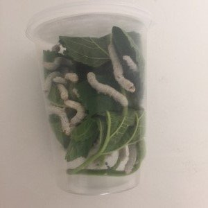 Educational Science Silkworm Growing Kit Feeder POD, 30 silkworms with fresh mulberry leaves and,or Mulberry Chow, SWPM30 by Educational Science Entomology Products