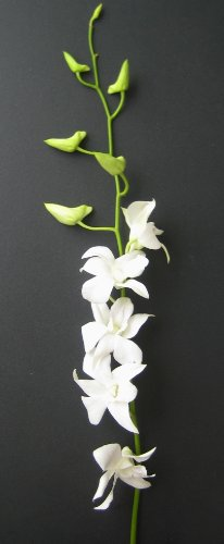 Fresh Flowers - 20 Long Stemmed White Dendrobium Orchids by Just Orchids