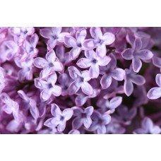 Lilac Blossom - 1935 - Premium Fragrance Oil - BUY 2 and GET 20% OFF 1 Oz (30 ml) Paris Fragrances USA 4336903639