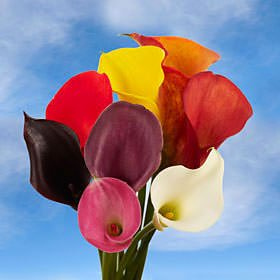 GlobalRose 240 Assorted Color Mini Calla Lilies - Fresh Flowers For Birthdays, Weddings or Anniversary.