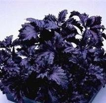 500 DARK OPAL BASIL (Purple Ruffles) Ocimum Basilicum HERB Flower Seeds by Seedville (500 Herb Seeds)