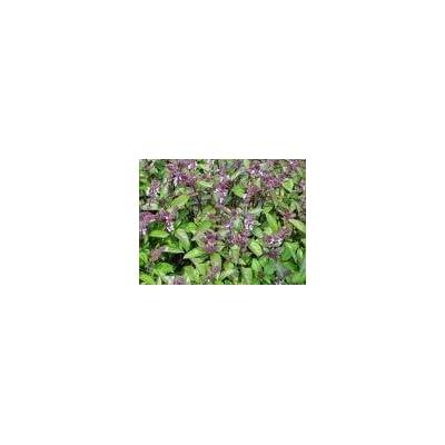 1000 CINNAMON BASIL Ocimum Basilicum HERB Flower Seeds : Herb Plants : Garden & Outdoor