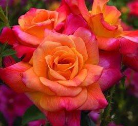 18 Orange Roses (Joseph's Coat Climbing Rose, 12-18