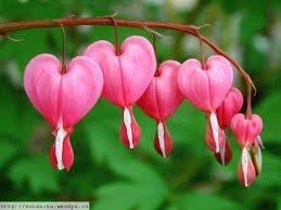 Old Fashioned Bleeding Heart ((PBH)~