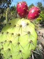 Opuntia Oricola, Rare Chaparral pricklypear Cactus Exotic Nopal Seed 20 Seeds ()