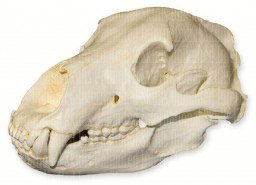 Grizzly Bear Skull (Teaching Quality Replica) (Bear Grizzly Skull)