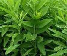 4 month old plant white Sandalwood Sapling Plants, CHANDAN PLANT (B07V2XT9MM) Amazon Price History, Amazon Price Tracker