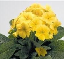 Polyanthus  Crescendo Yellow  10 Seeds