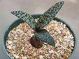 "Scilla Violacea exotic succulent bulb miniature plant ledebouria bluebell 4"" pot"