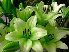 Trebbiano L.A. Hybrid Lily - 3 Bulbs 14/16cm - Unique Lime Green! ()