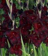 (10) Giant Flowering Black Sea Gladiolus Bulbs ,Plant, Bulb, Root, Sword Lily, (Planting Flowering Bulbs)