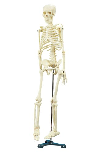 School Specialty Demonstration Skeleton Model with Metal Stand, 33″ Height