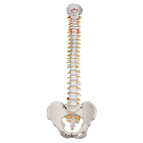 Explanation Of Halloween (3B Scientific A59/1 Highly Flexible Spine - 3B Smart)