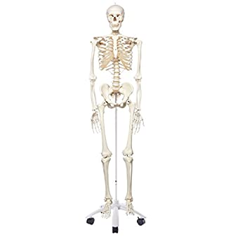 "3B Scientific A10 Plastic Human Skeleton Model ""Stan"", On Pelvic Mounted 5 Foot Roller Stand, 66.9"" Height"