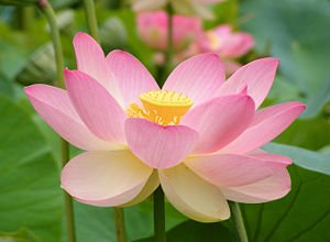 *Seeds and Things Pink Sacred Water Lily 5 Seeds - Nelumbo Nucifera-