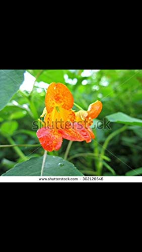 nge Spotted Jewel-Weed Seeds. Heirloom and Organic! Poison Ivy Remedy ()