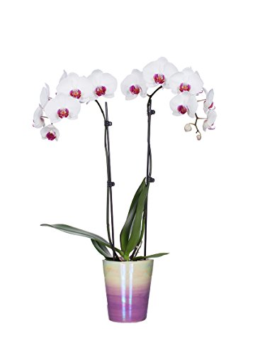 Just Add Ice 304207 Classic Pink Watercolor Phalaenopsis Orchid, (Just Add Ice)