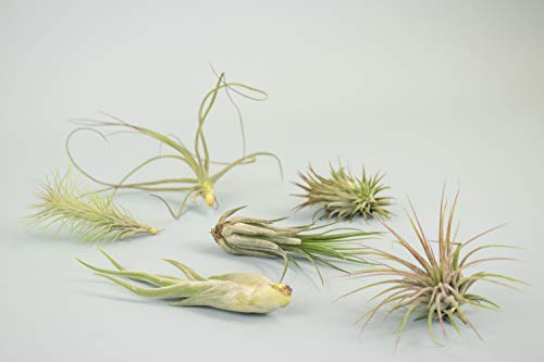 Assorted variety of air plants