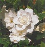 Gardenia 'August Beauty' Flowering Shrub 4 inch pot