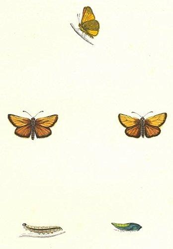 BUTTERFLIES. Silver- Spotted Skipper (Morris) - 1895 - old print - antique print - vintage print - Butterflies art prints