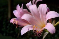Naked Lady Magic Lily 1 Bulb - Lycoris squamigera - Fall Blooming -12/14cm Bulbs -