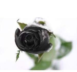¡Promoción! 100pcs Nueva Negro Rose semillas de flor rosa china macetas Semillas plantadores Bonsai DIY jardinería gota
