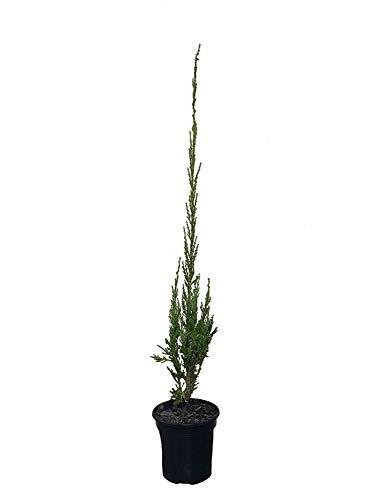 SkyRocket Blue Juniper Tree - Live Plant - 4 Inch Pot