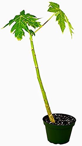 9GreenBox - Papaya Tree - 4'' Pot